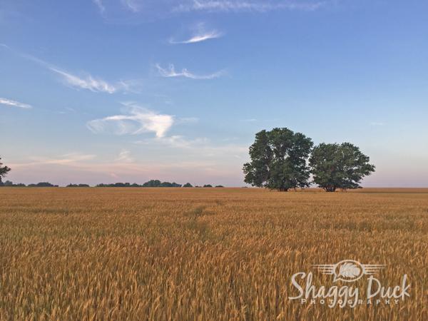 morning-wheat