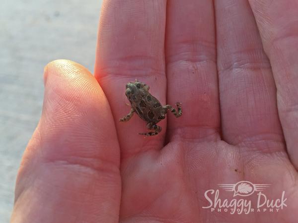 tiny-croaker