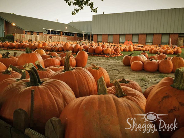 pumpkins-2015