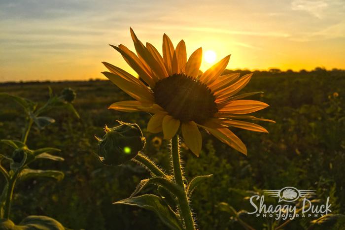 sunflower-sunrise