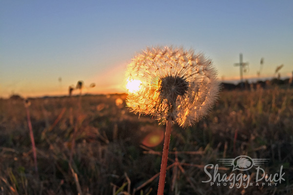sunrise-dandilion-cross