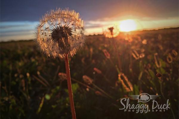 sunrise-dandilion
