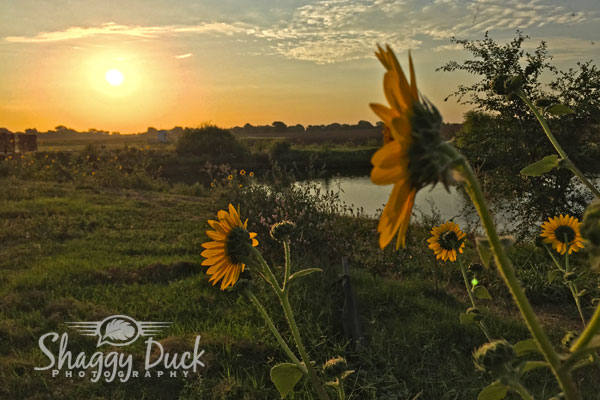 sunrise-sunflower-2