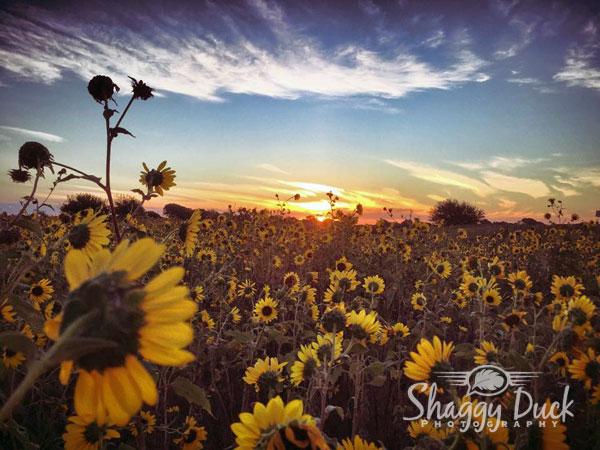 sunrise-sunflower-power