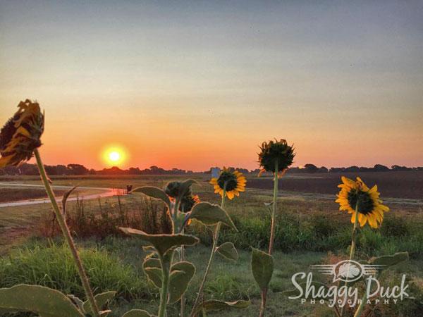 sunrise-sunflowers-2015
