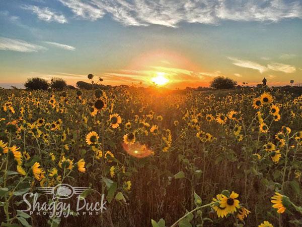 sunrise-sunflowers