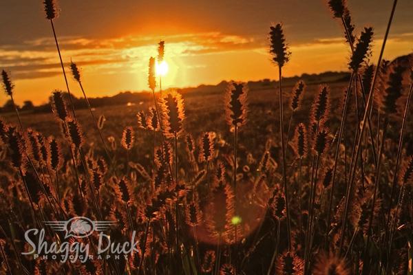sunrise-weeds2