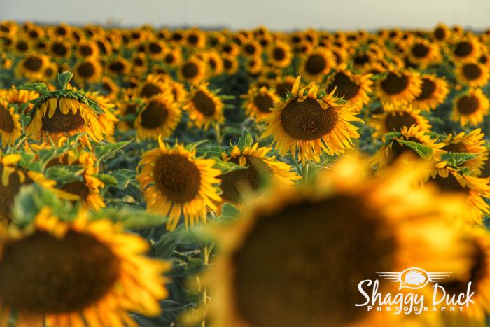 sunflower-group