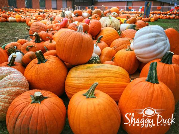pumpkins-2016